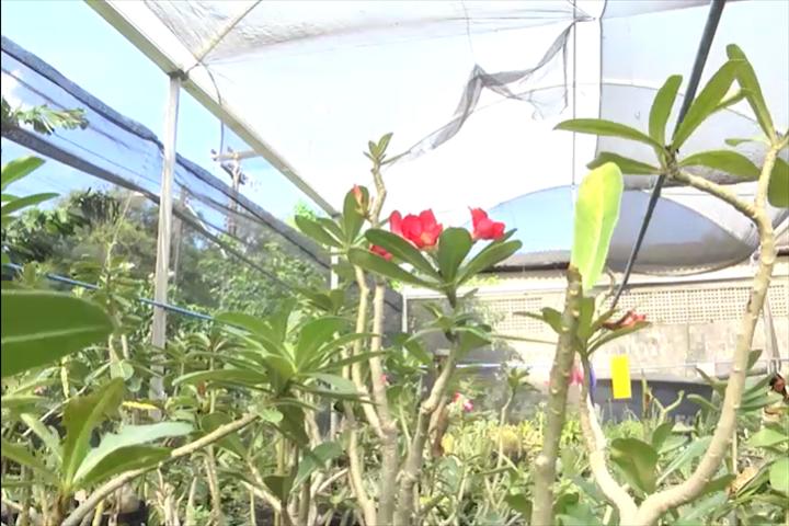 Rosa do deserto é uma planta originária da África do Sul